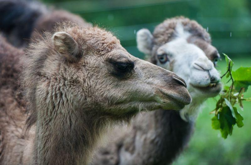 Alb Kamele 2