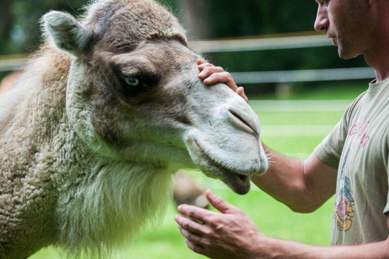Alb Kamele 3