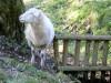 Schaf beim erleb-dich-pfad (Foto: Rosemarie Luppold)